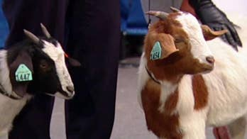 Goats for the Old Goat helping families in developing countries