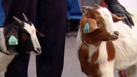 Goats organization helps in developing countries