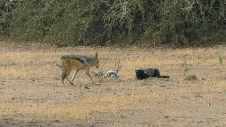 Massive python, a resilient honey badger and two persistent jackals engage in a three-way fight