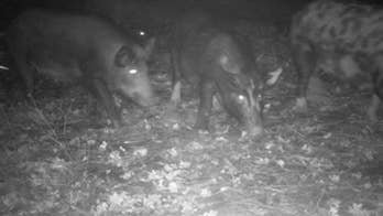 Feral hogs tearing up California park, prompting city to hire trapper to deal with 'invasive' population