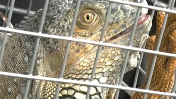 Green iguanas are invading Florida homes and public areas