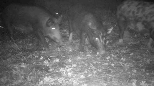 Feral pigs that invaded California city may face euthanasia