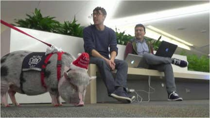 LiLou the therapy pig calms stressed-out flyers