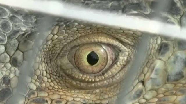 Growing concerns over Floridas exploding green iguana population