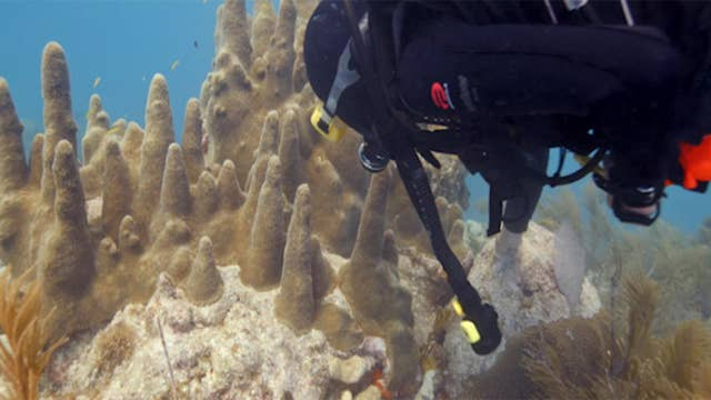 Technicolor coral once covered stretches of underwater reefs in the Florida Keys and beyond