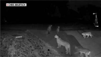 5 California mountain lions caught on video outside home in rarity for solitary creatures