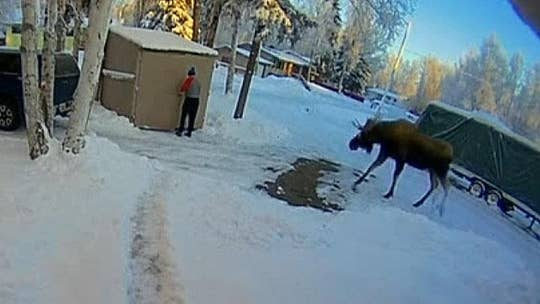Alaska man hides in shed to avoid bull moose
