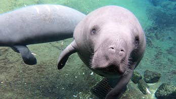 Record number of manatees killed by Florida boaters in 2019