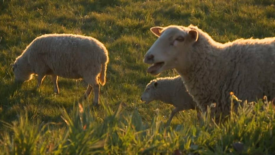 California city employs 1,300 sheep and goats to help in fire prevention