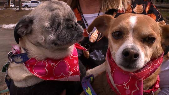 Blind pug and his seeing-eye Chihuahua looking for a loving forever home