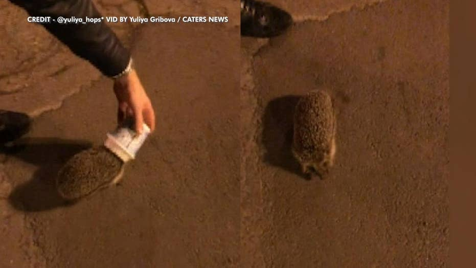 Hedgehogs in Ireland, Russia, are spotted with their heads stuck in frozen treat cups