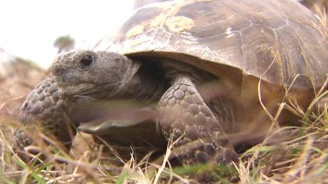 Tortoises slow parkway construction