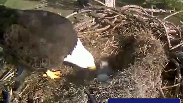 Webcam captures eagle family live