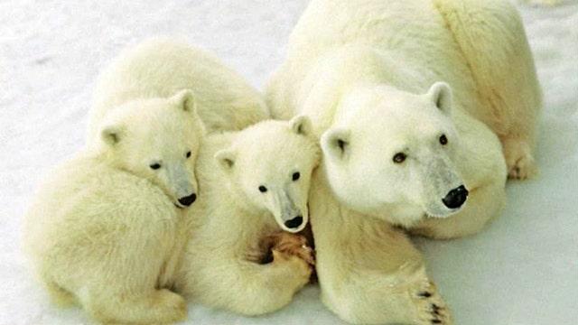 Polar bear population on the rise?