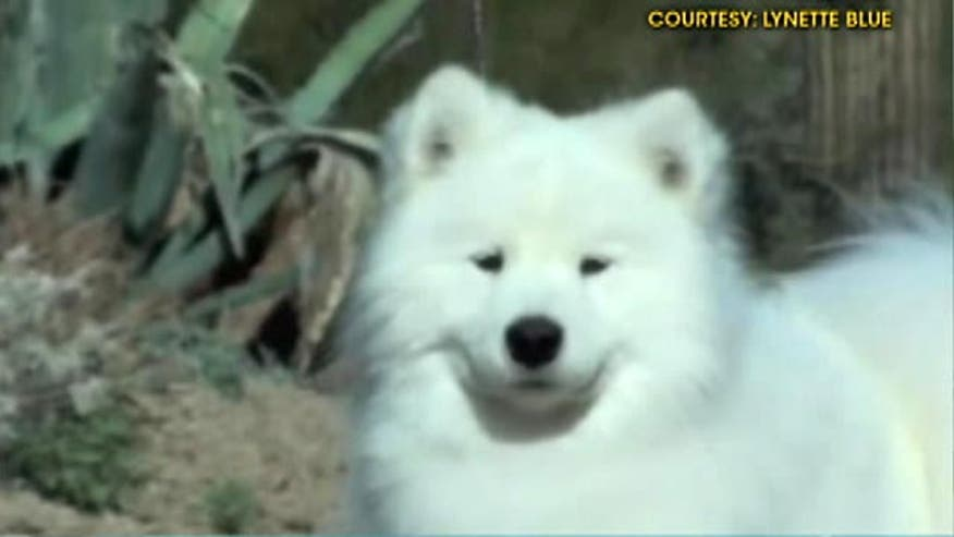 Was Cruz the Samoyed poisoned?