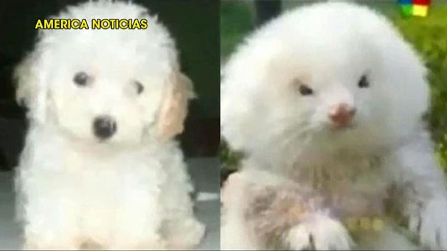 Man finds out pets are actually ferrets