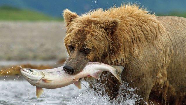 Disney returns to the wild with new documentary 'Bears'
