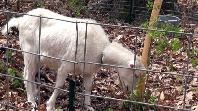 Goats hired to clear harmful plants at Missouri University