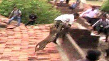Big cat creates big stir in India
