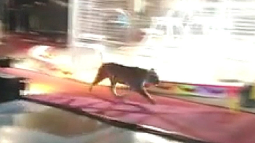 A tiger gets loose at the circus