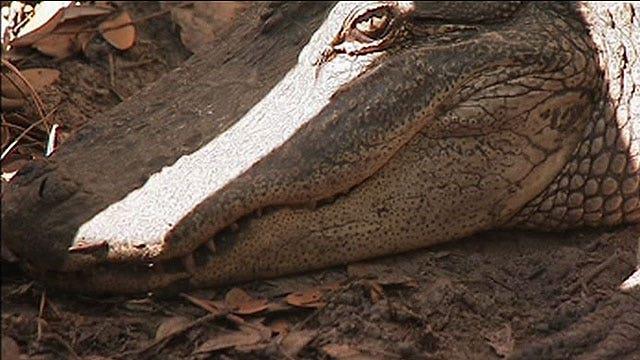 7-foot gators living in Florida backyard