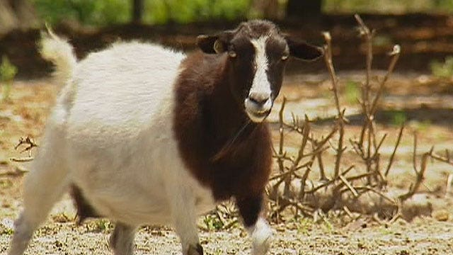 Goats, pigs stolen from popular petting zoo
