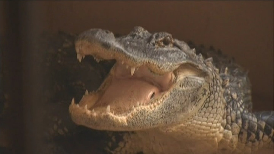 Luckily no one was hurt, when a south Florida family spotted an alligator at their front door.