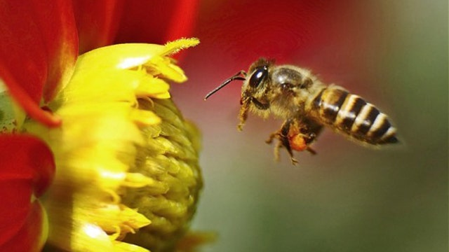 Wild vs. domesticated bees