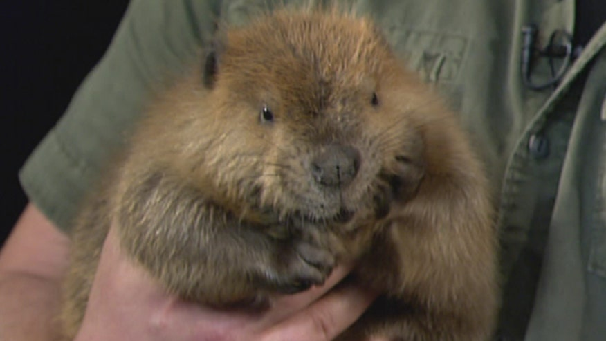 NWF's David Mizejewski shows off baby beaver, fox and owl and discusses the Great American Backyard Campout