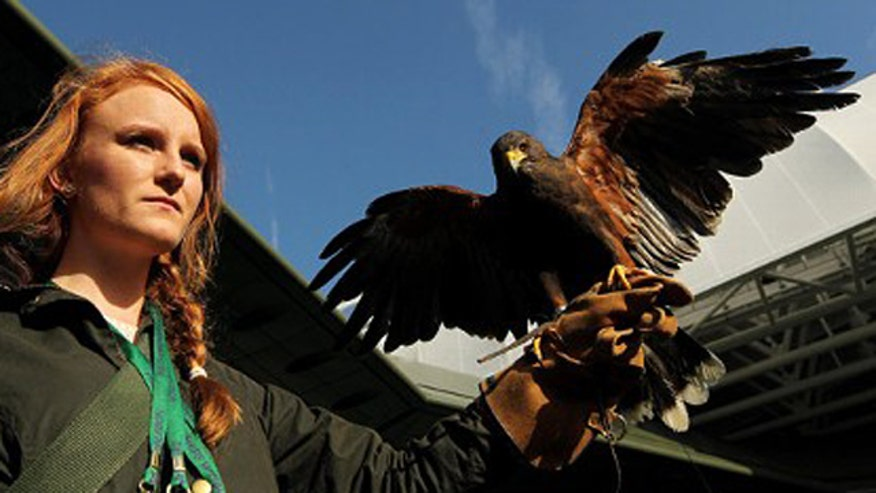 Rufus the Hawk's handler Imogen Davis discusses working with birds of prey