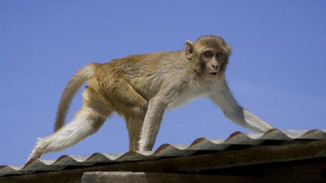 Monkey Walking 2 : Public Domain Pictures