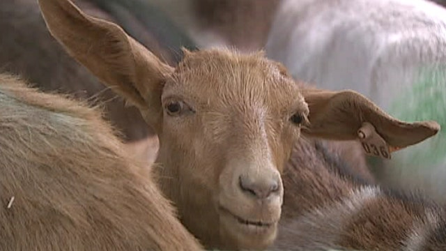 Goats need health docs to clear historic cemetery