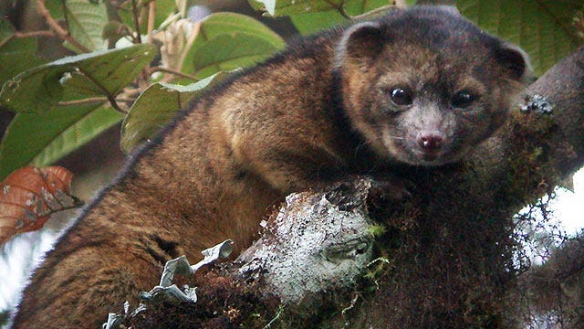 Olinguito makes debut as newest mammal species