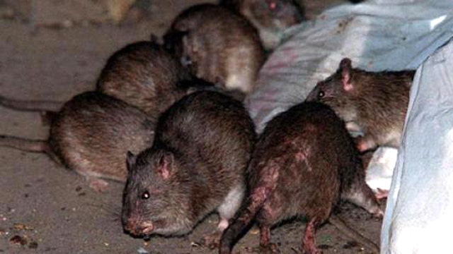 Vigilante wants to 'stink up' city hall with dead rats