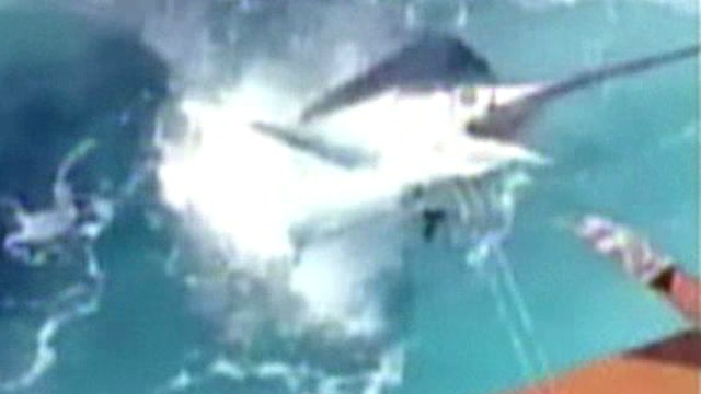 Monster marlin nearly spears fisherman after leap into boat