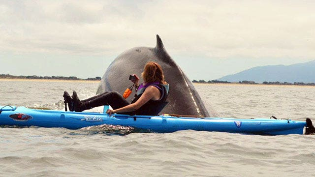 Kayakers come face-to-face with 80,000-pound humpback whales