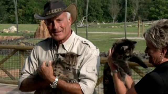 Rescued mountain lions cubs head to new home at Columbus Zoo