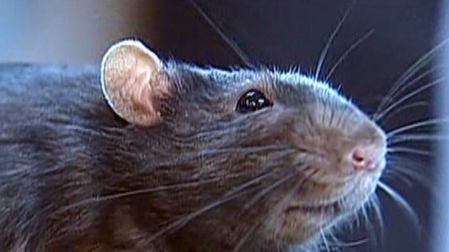 What are the 'rattiest' cities in America?
