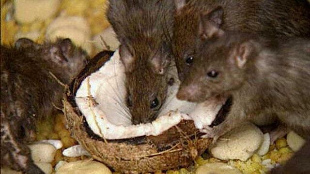 Study: NYC rats carrying dangerous viruses, bacteria