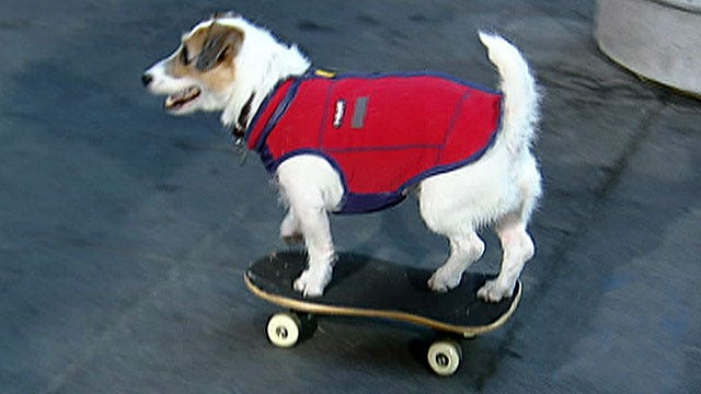 Fox Flash: Dog with skills
