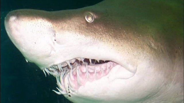 Man punches shark to save woman