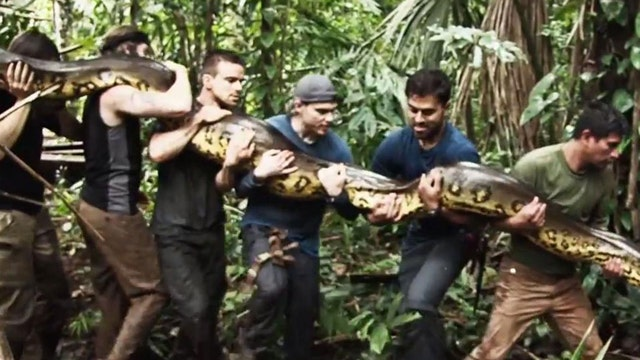 Wildlife expert to be 'eaten alive' by anaconda