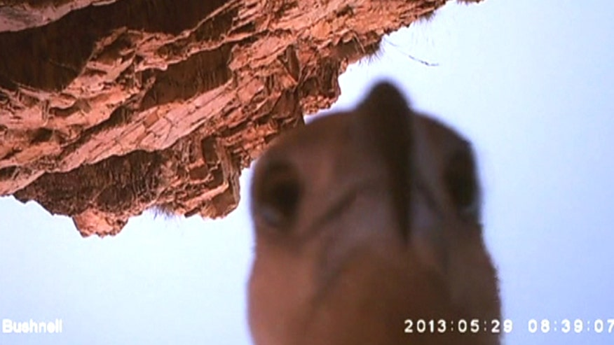 Raw video: Bird of prey gets claws on Australian park ranger's camera