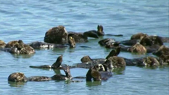 Scientists launch massive study to save sea otters