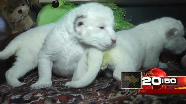 Around the World: 3 rare white lion cubs born in Ukraine