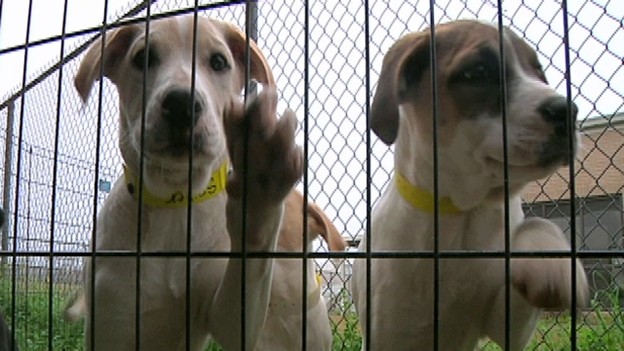Mississippi State University students are helping homeless puppies in the South find homes in the Northeast for Christmas