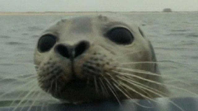 Duck hunters get surprise visit from seal