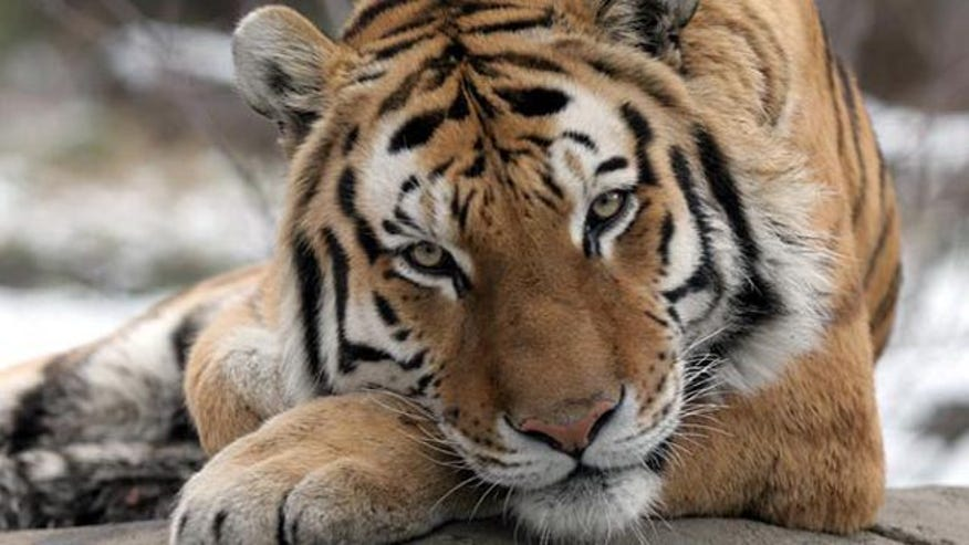 New York bans 'tiger selfies'