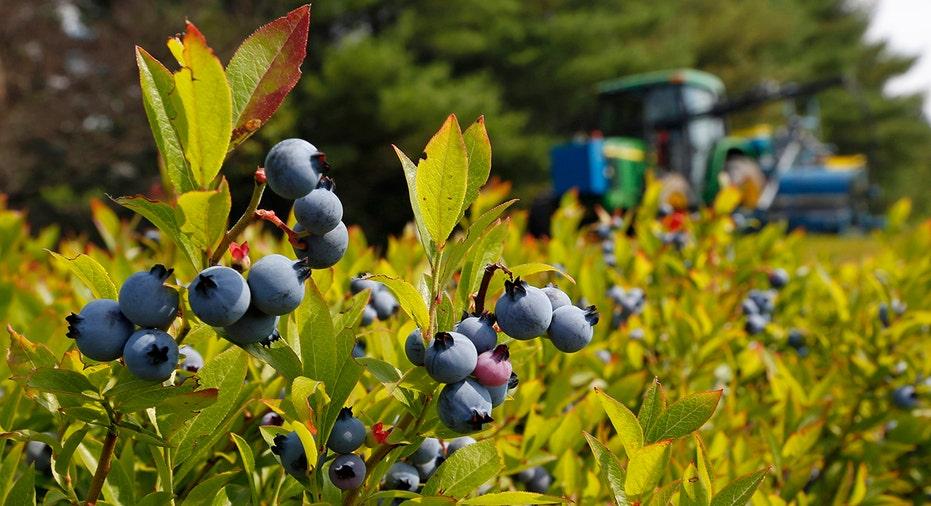 Blueberry Farm AP FBN