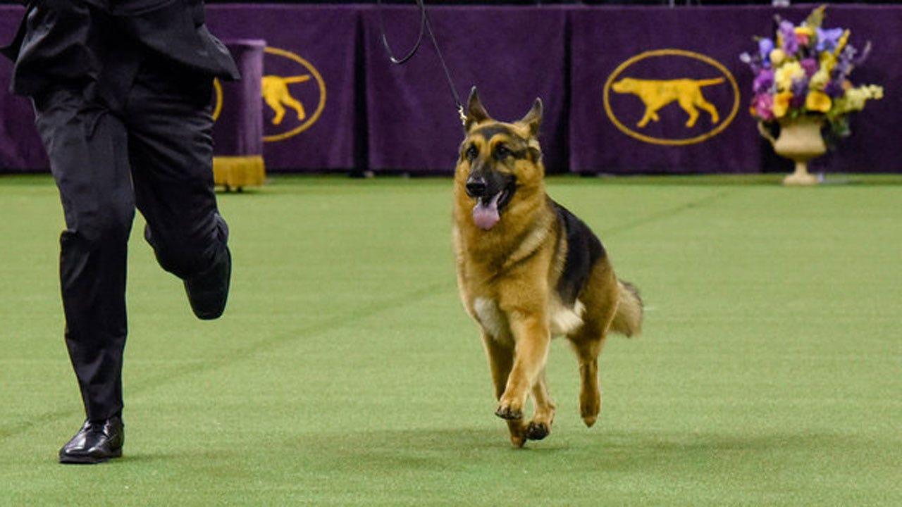 Westminster Dog Show  Tv Rumor Fox News